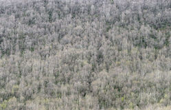 Background of a birch forest on a mountainside Royalty Free Stock Photos