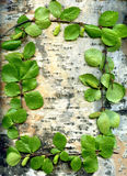 Background birch and leaves. Background for text on birch with green sheet Stock Photo