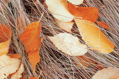 Background. Birch leaves on dry grass. Royalty Free Stock Photography