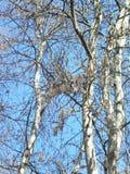 Background-birch Royalty Free Stock Image