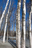 Background birch tree forest snow defrost spring Stock Image