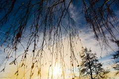Birch twigs sunset. Background with birch twigs in the foreground Stock Photography