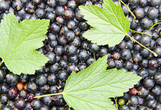 Background of black currant and green leaves Royalty Free Stock Image