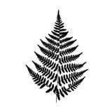 Background black-and-white fern. Black fern silhouette isolated on white background Stock Image