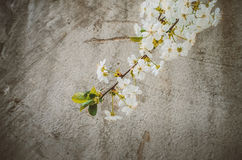 Background with bloom branch. Flowers branch on the background in spring Stock Image