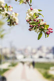 Background blooming apple trees and the seaside promenade in Kadıköy Royalty Free Stock Photography