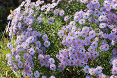 Background of Blooming asters Royalty Free Stock Image