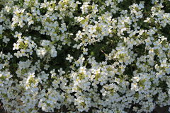 Background of blooming carpet of small white flowers. Close up. Royalty Free Stock Photo