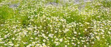 Background of blooming daisies. Focus on the foreground. Stock Images