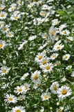 Background of blooming daisies. Royalty Free Stock Photography