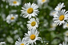 Background of blooming daisies. Stock Photography