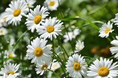 Background of blooming daisies. Royalty Free Stock Image