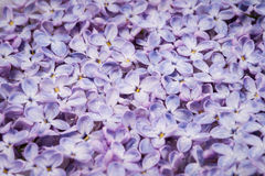 Background of blooming flowers of lilac Royalty Free Stock Photography