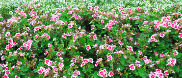 background of blooming geraniums Stock Photography