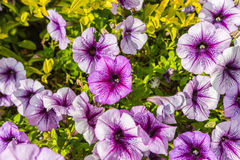 Background of blooming petunias Stock Image