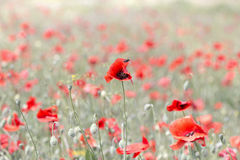 Background blooming poppies Stock Photography