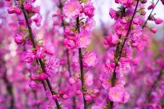 Background of blooming sakura. Background of beautifully blooming sakura Royalty Free Stock Photo