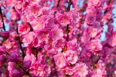 Background of  blooming sakura. Background of beautifully blooming sakura Stock Photos