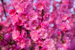 Background of blooming sakura. Background of beautifully blooming sakura Royalty Free Stock Image