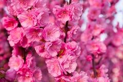 Background of  blooming sakura. Background of beautifully blooming sakura Royalty Free Stock Photography