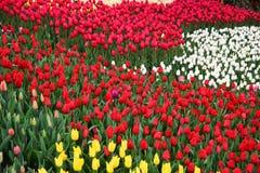 Background of blooming tulips. Emirgan Park. Istanbul, Turkey. Royalty Free Stock Image