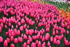 Background of blooming tulips. Emirgan Park. Istanbul, Turkey. Royalty Free Stock Photo