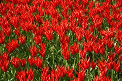 Background of blooming tulips. Emirgan Park. Istanbul, Turkey. Royalty Free Stock Images
