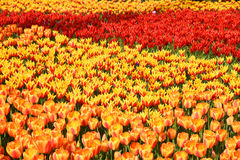 Background of blooming tulips. Emirgan Park. Istanbul, Turkey. Stock Photography