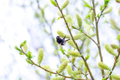 Background of blossom and bumblebee. Wallpaper Royalty Free Stock Photography