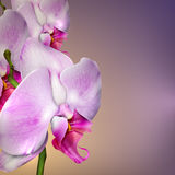 Background with a blossom orchid Stock Photography