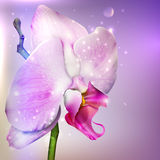 Background with a blossom orchid. Flower background with a blossom orchid Royalty Free Stock Photo
