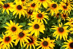 Background from the blossoming coneflower hairy Rudbeckia hirta L.  stock image
