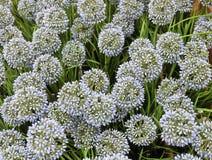 Blue Artificial Giant Onion Flower or Allium Giganteum Royalty Free Stock Photo