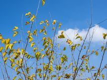 On the background of the blue autumn sky with clouds of tree branches with yellow leaves. Stock Photography