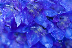 Background of blue flowers. Closeup Stock Photos