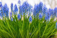 Background with blue flowers grape hyacinth, closeup Royalty Free Stock Photography