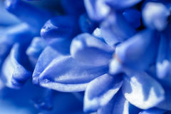 Background from blue flowers of a hyacinth close up, a macro Stock Photos
