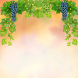 Background with blue grapes Royalty Free Stock Photos