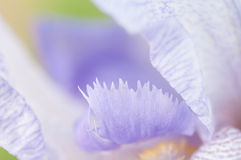 Background blue iris flower Stock Photography