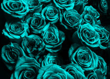 Background of blue roses isolated on black background. stock images