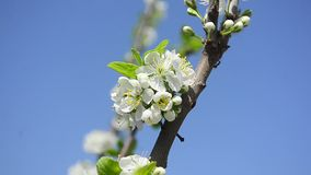 On the background of blue sky plum flowering branch closeup stock video