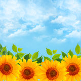 Background with blue sky and sunflowers Royalty Free Stock Photos