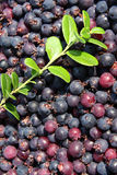 Background of blueberry. Berries and twigs of blueberry. Close-up Stock Photos