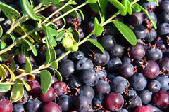 Background of blueberry Royalty Free Stock Images
