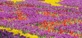Background blur colorful flower carpet in Istanbul Flower Festival Stock Images