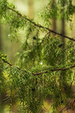 Background blurred branches of juniper berries in a forest Stock Photo