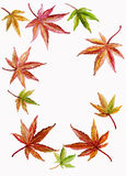 Background Border of Japanese Maple and Acer Leave Royalty Free Stock Photography