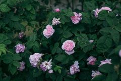 Background of bouquet of pink blooming rose bush. Garden stock images