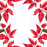 Background  with bouquet of red poinsettia Stock Photos