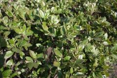 background of boxwood bushes royalty free stock photo